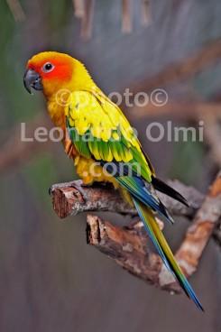 Maldives, Nika Island, parrot DSC_6672 JPG copy