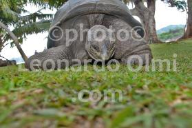 Seychelles, La Digue island, turtle DSC_0113 bis2 JPG copy