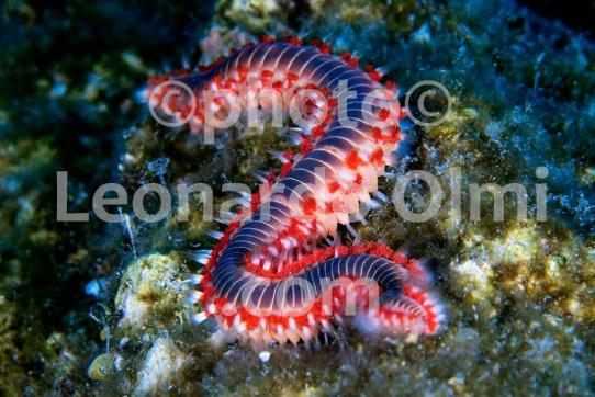 Croatia, Vis island_underwater, bristle worn DSC_9574 TIF copia copy