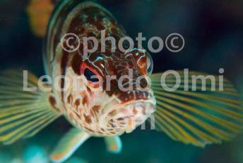 Croatia, Vis island_underwater, comber fish DSC_9656 TIF copia copy