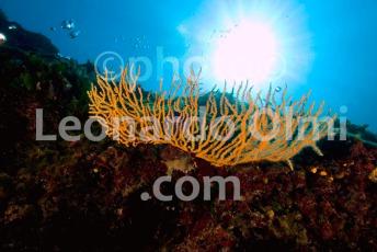 Croatia, Vis island_underwater, gorgonia seafan DSC_6932 TIF copia copy