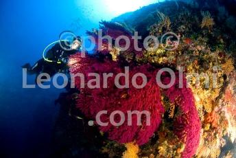 Croatia, Vis island_underwater, gorgonia seafans, diver DSC_8715 TIF copia copy