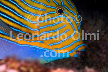 Thailand, Similan islands, angelfish DSC_2234 TIF copia copy
