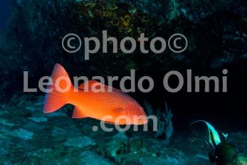 Thailand, Similan islands, coral grouper DSC_2721 TIF copia copy