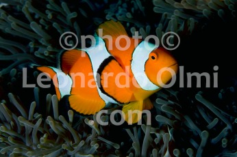 Thailand, Similan islands, false clown anemonefish DSC_3056 TIF2 copia copy
