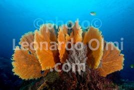 Thailand, Similan islands, gorgonia seafans DSC_2659 TIF copia copy