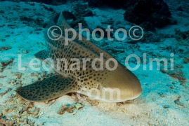 Thailand, Similan islands, leopard shark DSC_3329 TIF copia copy
