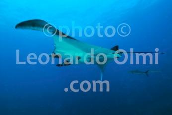 Thailand, Similan islands, mantaray DSC_3303 TIF copia copy