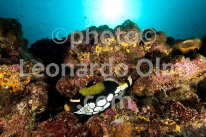 Thailand, Similan islands, Picasso trigger fish DSC_1947 TIF copia copy
