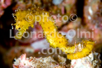 Thailand, Similan islands, yellow seahorse DSC_3268 TIF copia copy