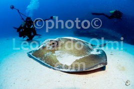 Chikuzen shipwreck, stingray on sandy bottom, photographer shooting photos, British Virgin Islands, Caribbean