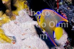 Queen angelfish, British Virgin Islands, Caribbean