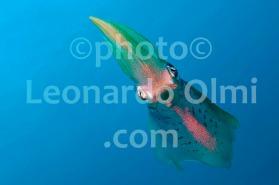 Bigfin reef squid (Sepioteuthis lessonania), British Virgin Islands, Caribbean