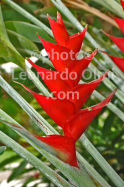 British Virgin Islands_Virgin Gorda_flower_heliconia_DSC_1827 bis JPG copy